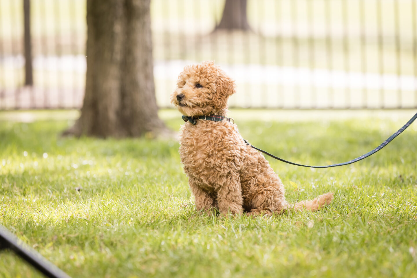 Goldendoodle Puppy, New Puppy Cuteness, Copper Canyon Doodles |Charlie Cupcake by popular Dallas lifestyle blog, Pretty Little Shoppers: image of a goldendoodle puppy.