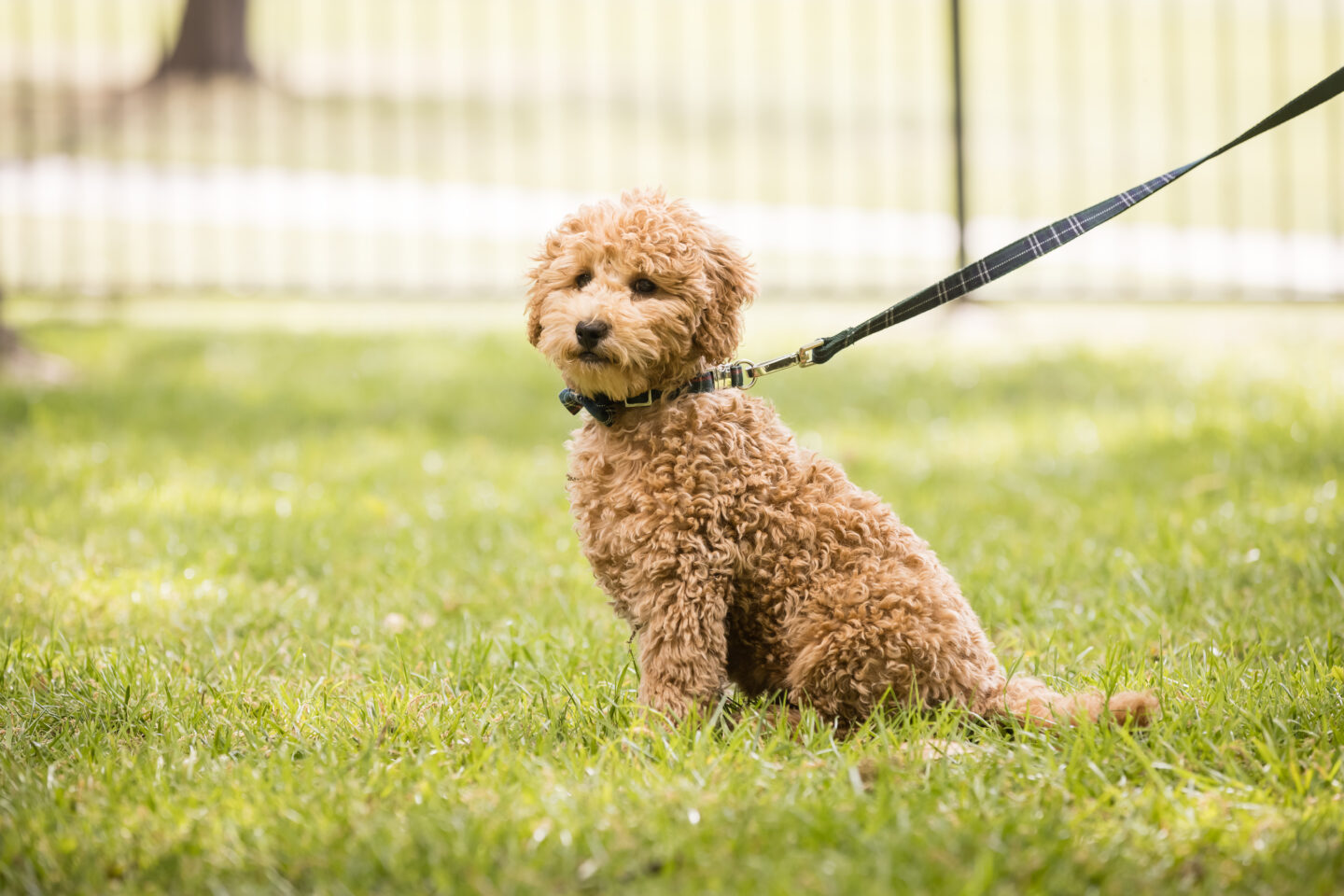 4 Month Old Mini Goldendoodle |Charlie Cupcake by popular Los Dallas lifestyle blog, Pretty Little Shoppers: image of a goldendoodle puppy.