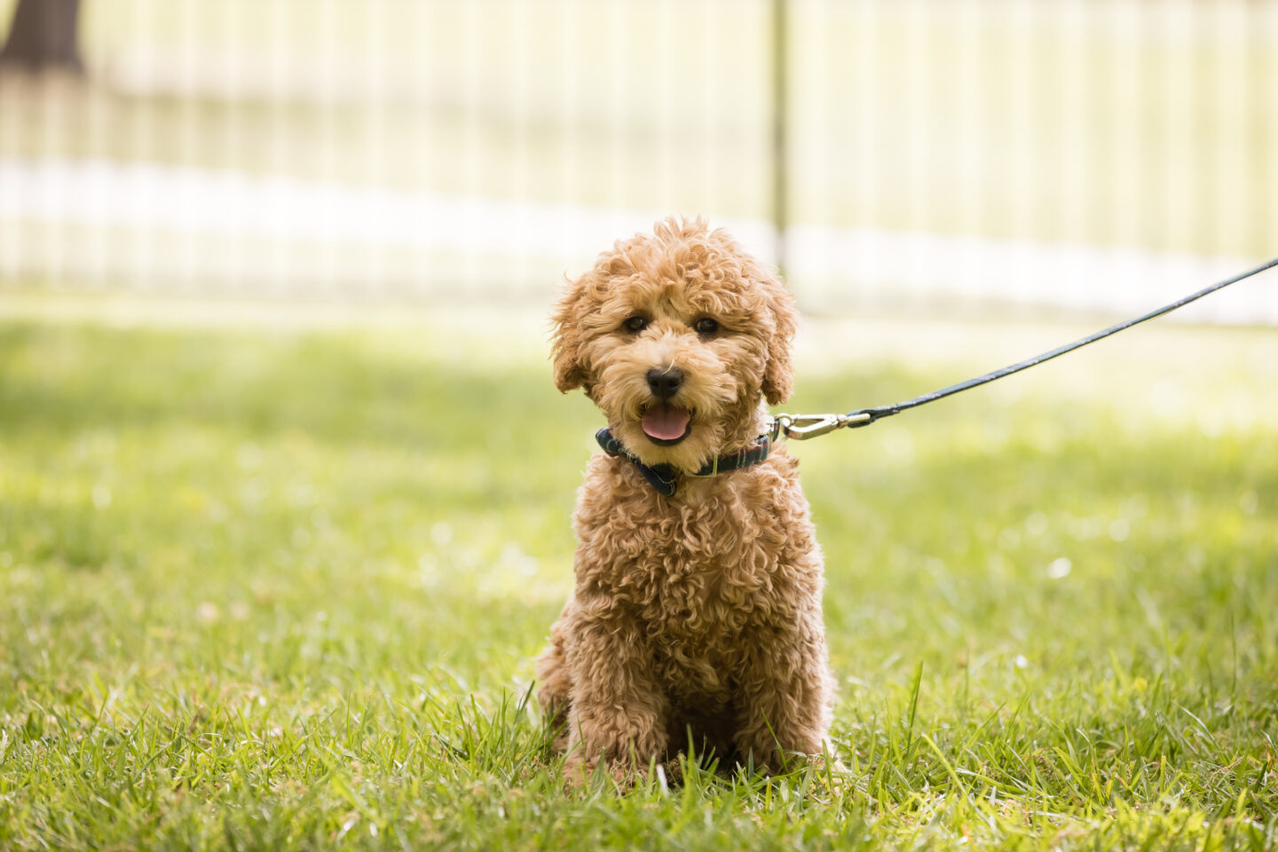 Goldendoodle puppy |Charlie Cupcake by popular Dallas lifestyle blog, Pretty Little Shoppers: image of a goldendoodle puppy.